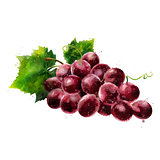 Red grapes on white background. Watercolor illustration