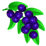 Vector illustration of a blueberry on a twig isolated on white b