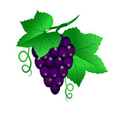 Vector illustration of a Vine with black grapes and leaves on wh