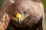 Close-up of a Steppe Eagle