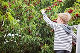 kid picking cherries