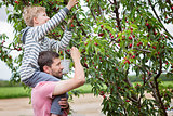 family picking cherries