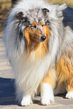 Collie Dog with long fluffy hair and a pointed muzzle Close-up