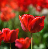 field of red blossoming tulips on a sunny day