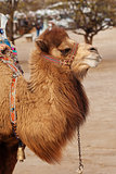 Portrait of turkish camel