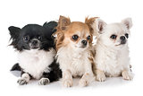 young chihuahuas in studio