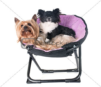 yorkshire terrier and chihuahua