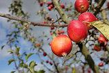 Malus Rosehip crab apples