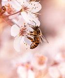 Little bee pollinates cherry flowers