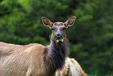 Elk Staring Closeup Portrait