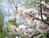 Apricot blooming in the garden. Beautiful spring seasonal background good for greeting card, wedding invitation, web.