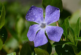 Periwinkle flower close-up