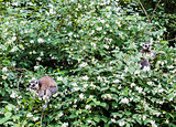 The ring-tailed lemurs, Lemur catta, on the blossom tree in springtime