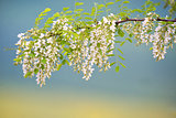 Branch of Acacia Flowers