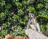 A ring-tailed lemur catta sitting on a tree