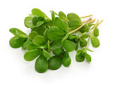 fresh purslane, edible weeds