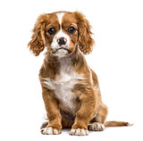 Cavalier king charles sitting, isolated on white