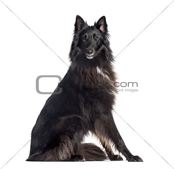 Groenendael (1.5 years old), isolated on white