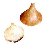 Onion on white background. Watercolor illustration