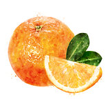 Orange on white background. Watercolor illustration