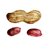 Peanut on white background. Watercolor illustration