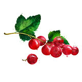 Red currant on white background. Watercolor illustration