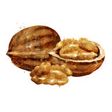 Walnut on white background. Watercolor illustration