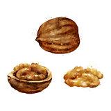 Walnut on white background. Watercolor illustration