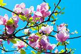Magnolia Flowers Tree