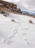 deer prints in the snow on Fish Slough Road in Bishop, Californi