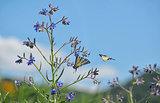 Swallowtail Butterlflies on flower