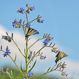 Swallowtail Butterlflies
