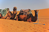 Camels in the Sahara in Morocco lie on the sand and wait for the tourists.