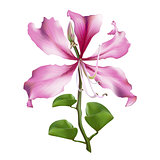 Pink Bauhinia Purpurea.