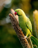 Rose-ringed parakeet female