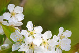 Close up on white cherry blossoms isolated.