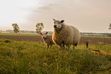 mother and child Sheep in the meadow on a beautiful summer day in the netherlands