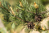 Pine cone on the tree