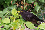 Blackbird (Turdus merula) in the bushes