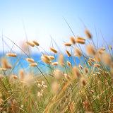 Bunny Tails Grass Lagurus Ovatus