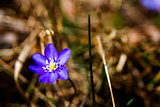 First fresh blue violet in the forest