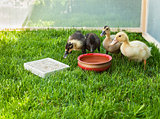 Cute ducklings surround water pot in a fenced area of green gras