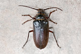 California prionus beetle (Prionus californicus) Male with conical antennae.