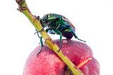 Mettalic green fig beetle (Cotinus texana) on apricot