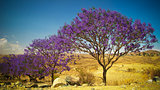 alley of Jacaranda trees at Filfil national park, Eritrea
