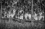 Palm trees plantation