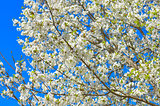 Blossoming apple tree, white flowers on green branches on a blue