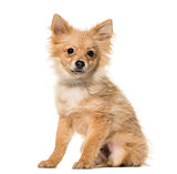 Pomeranian puppy , 5 months old, sitting against white backgroun
