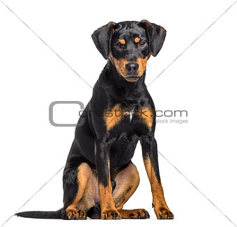 Mixed-breed dog , 8 months old, sitting against white background