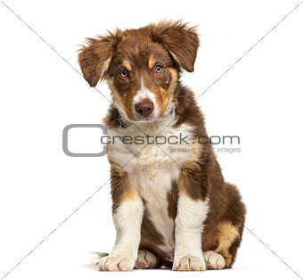 Border Collie puppy , 3 months old, sitting against white backgr